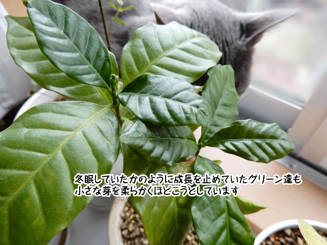 芽をつけたコーヒーの木