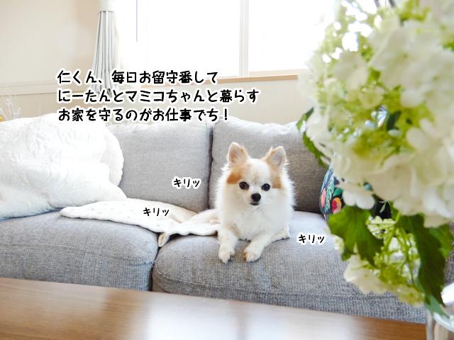 仁くんはにーたんとマミコちゃんと暮らすお家を守るのがお仕事なんでち!