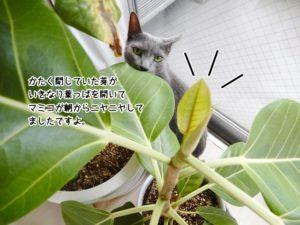 アルテシマの新芽が今年も葉を広げました