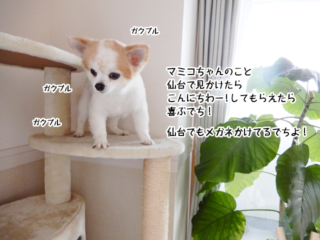 マミコちゃんのこと、仙台で見かけたらこんにちわー!してもらえたら喜ぶでち!