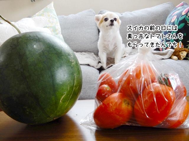 スイカの前の日には真っ赤なトマトさんをもらってきたんでち!