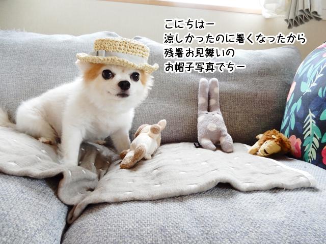 こにちはー涼しかったのに暑くなったから 残暑お見舞いの お帽子写真でちー
