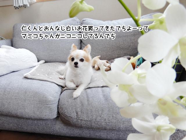 仁くんとおんなじ白いお花買ってきたでちよーって マミコちゃんがニコニコしてるんでち