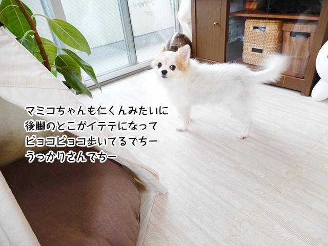 マミコちゃんも仁くんみたいに後脚のとこがイテテになってピョコピョコ歩いてるでちー。うっかりさんでちー