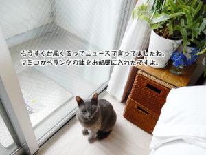 もうすぐ台風くるってニュースで言ってましたね。 マミコがベランダの鉢をお部屋に入れたですよ。