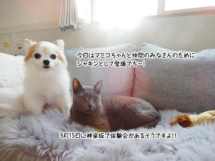 今日はマミコちゃんと仲間のみなさんのためにシャキンとして登場でちー3月15日に神楽坂で体験会があるそうですよ!!