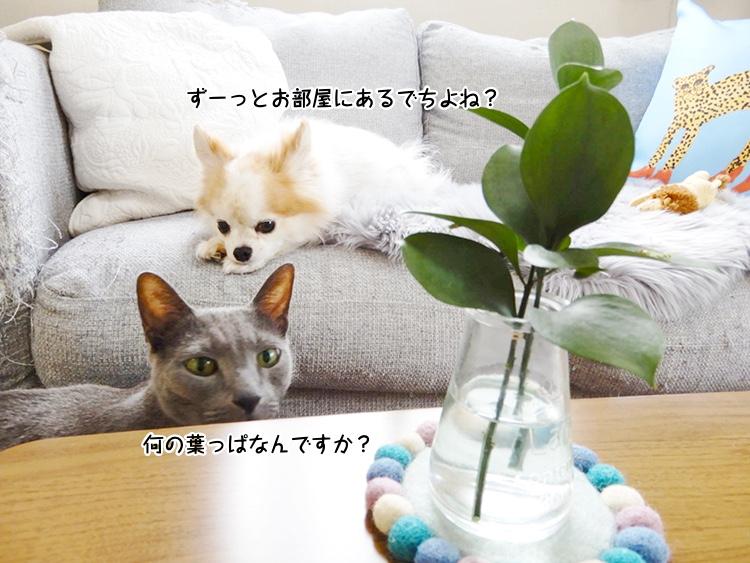 ずーっとお部屋にあるでちよね?何の葉っぱなんですか?