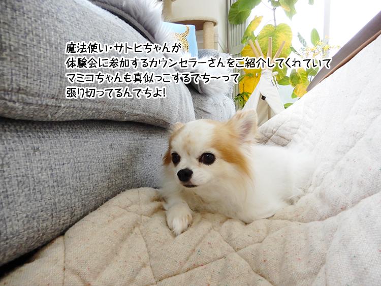 魔法使い・サトヒちゃんが 体験会に参加するカウンセラーさんをご紹介してくれていて マミコちゃんも真似っこするでち~って 張り切ってるんでちよ!