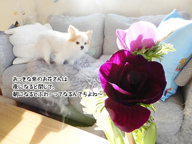 おっきな紫のお花さんは夜になると閉じて、朝になるとふわーってなるんでちよね~