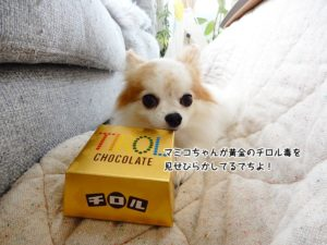 マミコちゃんが黄金のチロル毒を見せびらかしてるでちよ!