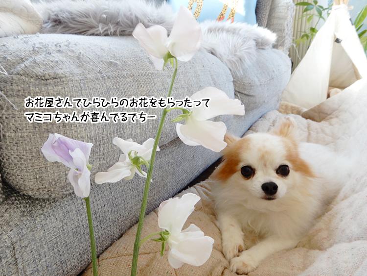 お花屋さんでひらひらのお花をもらったってマミコちゃんが喜んでるでちー