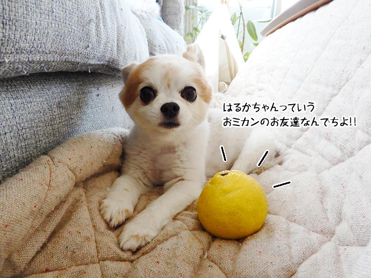 はるかちゃんっていうおミカンのお友達なんでちよ!!