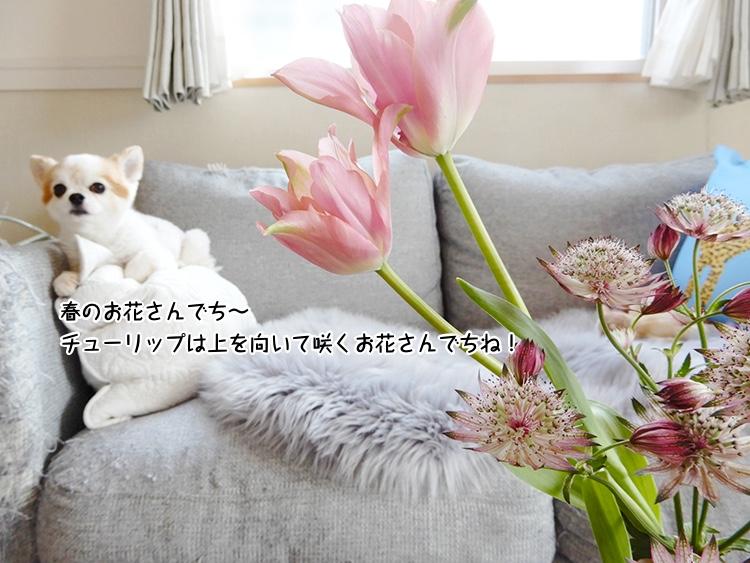 春のお花さんでち〜 チューリップは上を向いて咲くお花さんでちね!