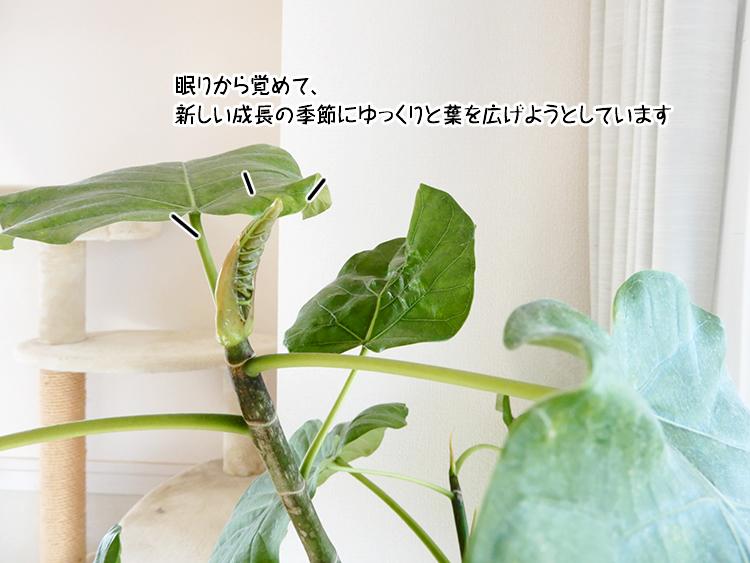 眠りから覚めて、新しい成長の季節にゆっくりと葉を広げようとしています