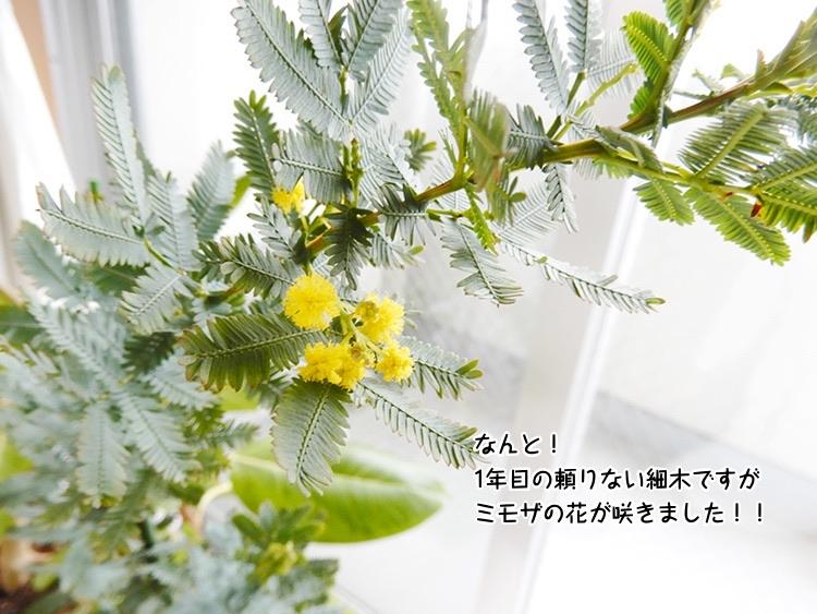 なんと!1年目の頼りない細木ですがミモザの花が咲きました!!