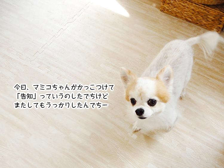 今日、マミコちゃんがかっこつけて「告知」っていうのしたでちけどまたしてもうっかりしたんでちー