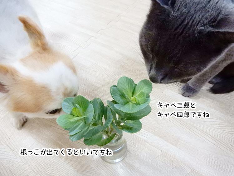 キャベ三郎とキャベ四郎ですね