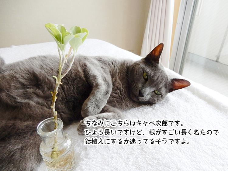 ちなみにこちらはキャベ次郎です。ひょろ長いですけど、根がすごい長く名たので鉢植えにするか迷ってるそうですよ。