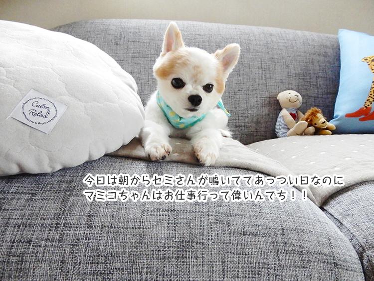 今日は朝からセミさんが鳴いててあっつい日なのに マミコちゃんはお仕事行って偉いんでち!!