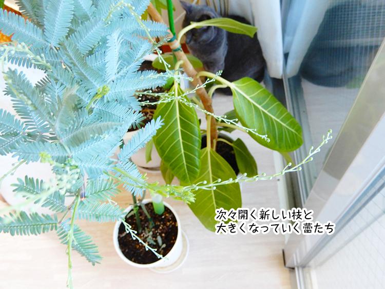 次々開く新しい枝と 大きくなっていく蕾たち