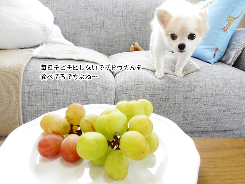 毎日チビチビしないでブドウさんを 食べてるでちよね~