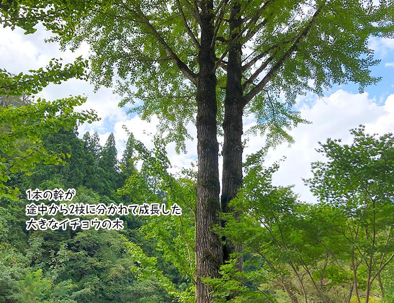 1本の幹が 途中から2枝に分かれて成長した 大きなイチョウの木