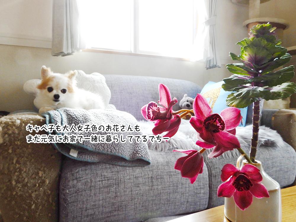 キャベ子も大人女子色のお花さんも まだ元気にお家で一緒に暮らしてでるでちー