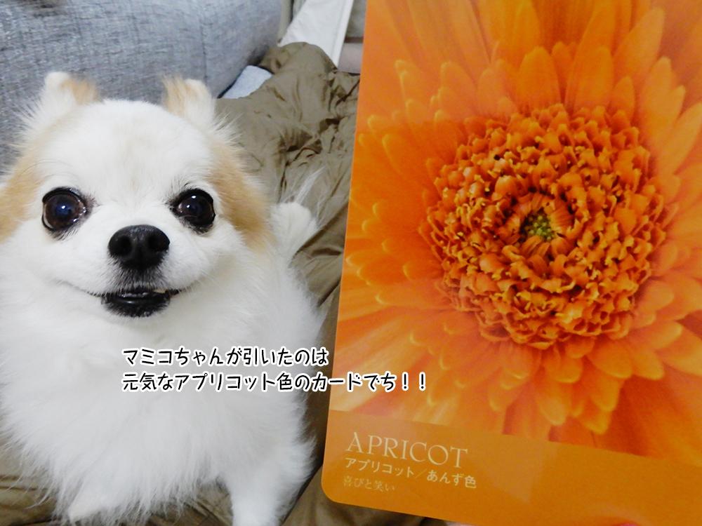 マミコちゃんが引いたのは 元気なアプリコット色のカードでち!!