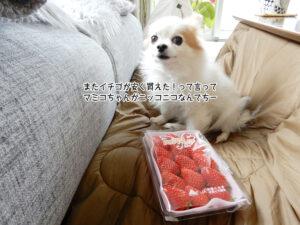 またイチゴが安く買えた!って言って マミコちゃんがニッコニコなんでちー