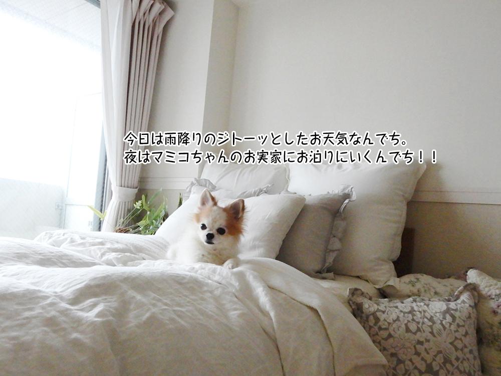 今日は雨降りのジトーッとしたお天気なんでち。 夜はマミコちゃんのお実家にお泊りにいくんでち!!