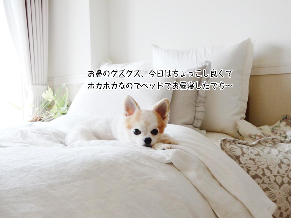 お鼻のグズグズ、今日はちょっこし良くて ホカホカなのでベッドでお昼寝したでち~