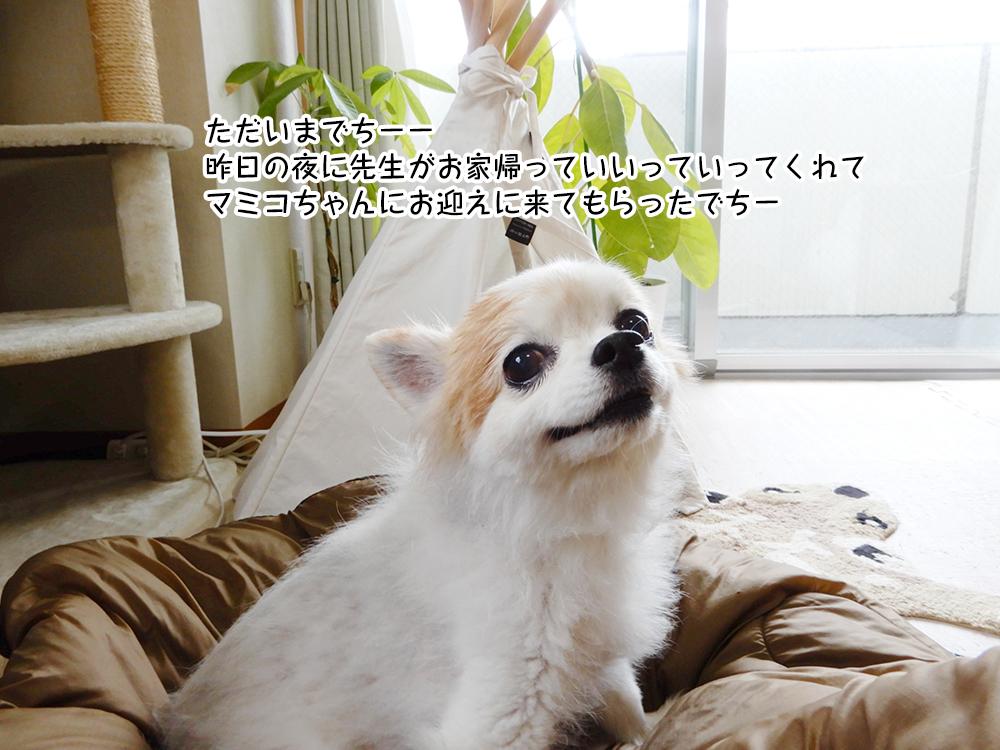 ただいまでちーー 昨日の夜に先生がお家帰っていいっていってくれて マミコちゃんにお迎えに来てもらったでちー
