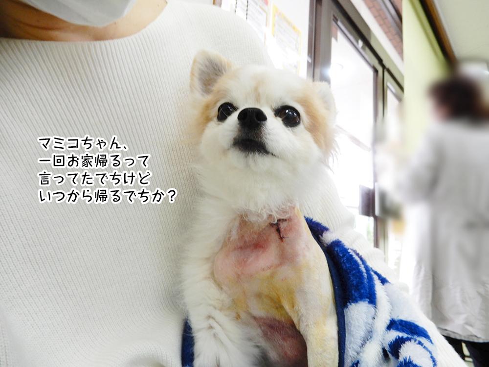 マミコちゃん、 一回お家帰るって 言ってたでちけど いつから帰るでちか?