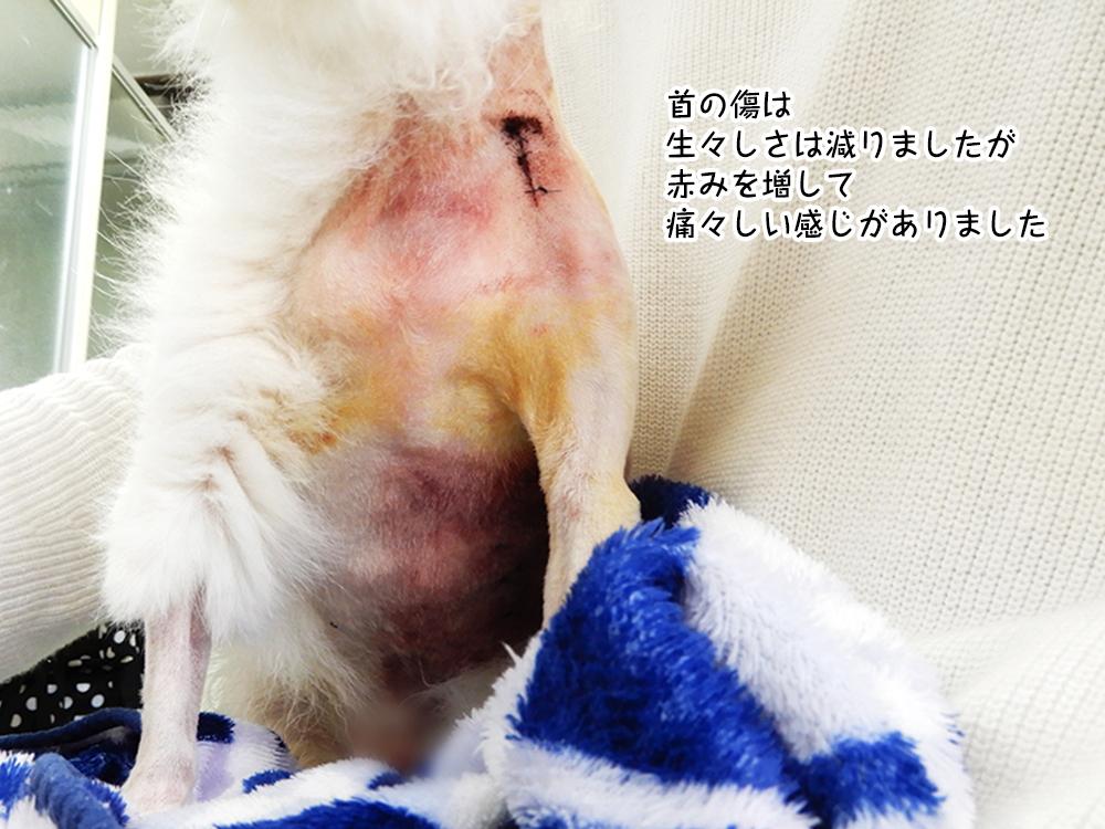首の傷は 生々しさは減りましたが 赤みを増して 痛々しい感じがありました