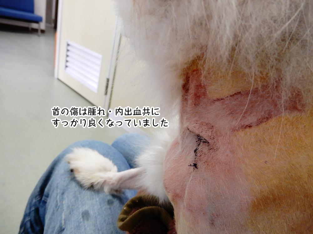 首の傷は腫れ・内出血共に すっかり良くなっていました