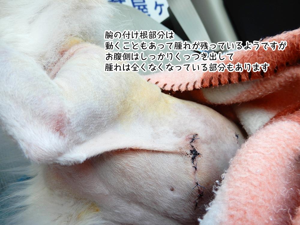 腕の付け根部分は 動くこともあって腫れが残っているようですが お腹側はしっかりくっつき出して 腫れは全くなくなっている部分もあります
