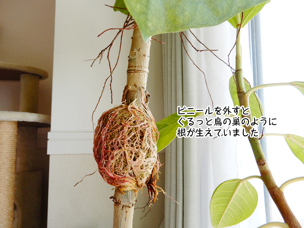 ビニールを外すとぐるっと鳥の巣のように根が生えていました