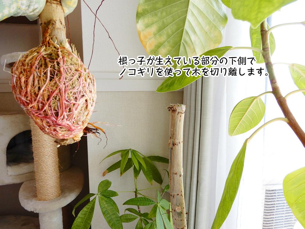 根っ子が生えている部分の下側で ノコギリを使って木を切り離します。