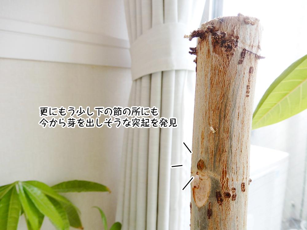 更にもう少し下の節の所にも今から芽を出しそうな突起を発見