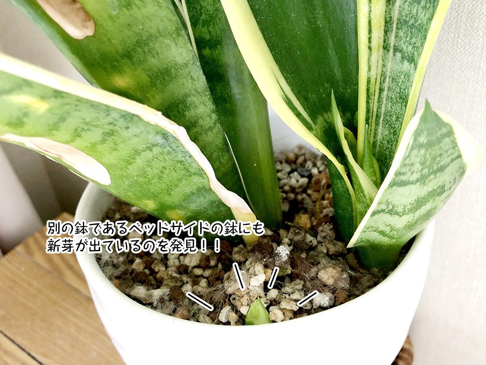 別の鉢であるベッドサイドの鉢にも 新芽が出ているのを発見!!