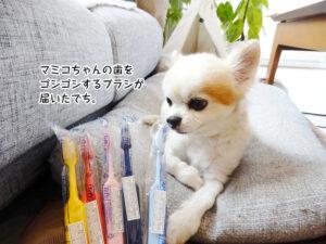 マミコちゃんの歯を ゴシゴシするブラシが 届いたでち。