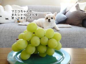 マミコちゃんが またシャインさんを 買って来たでち。